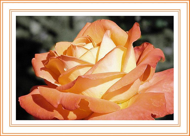 Rose in rot-gelb (Rahmen2)