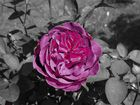 Rose in Schwarz