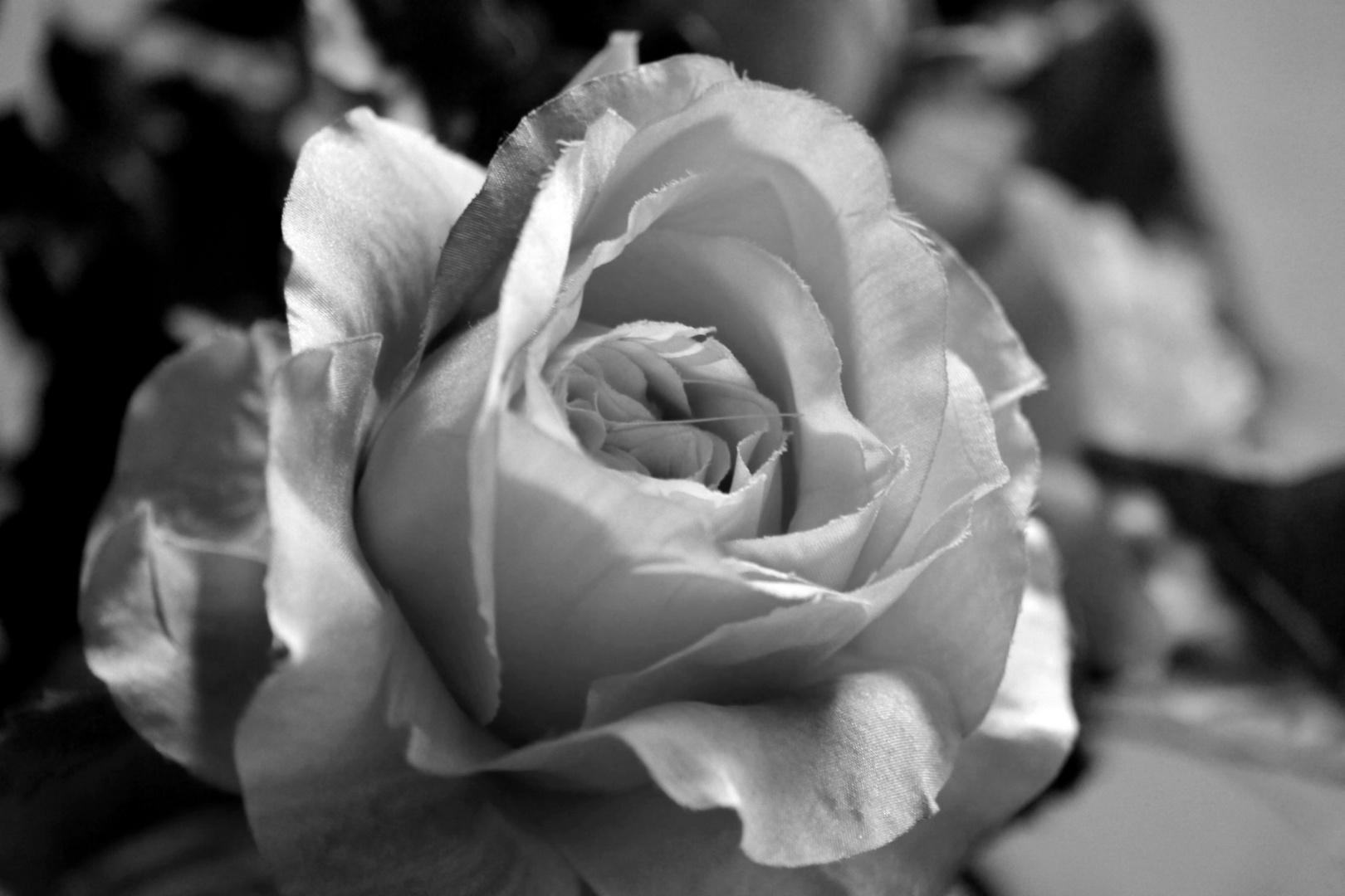 rose in schwarz wei foto bild pflanzen pilze flechten bl ten kleinpflanzen rosen. Black Bedroom Furniture Sets. Home Design Ideas