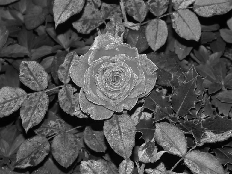 rose in schwarz weiss foto bild natur natur fine art natur kreativ bilder auf fotocommunity. Black Bedroom Furniture Sets. Home Design Ideas