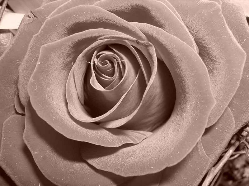 Rose in Sephia
