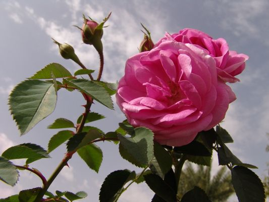 Rose in south Iran 1