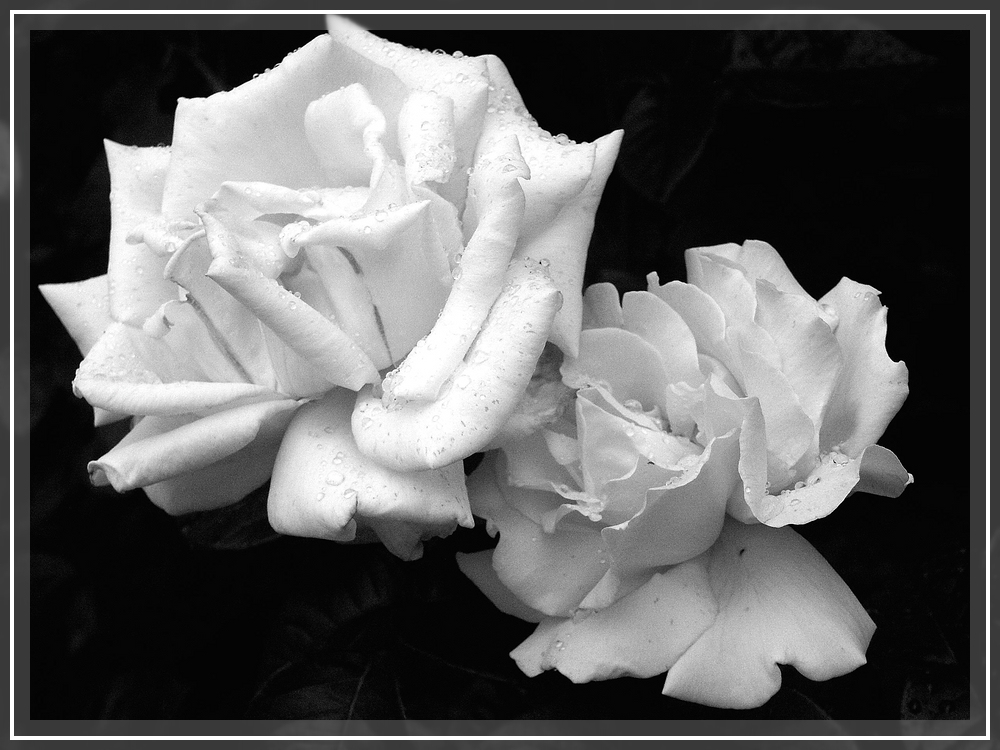 Rose in SW (2)