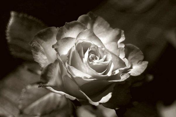 Rose in SW