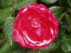 Rose in unserem Garten