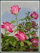 Rose in unserem Garten am 12. Juni 2008