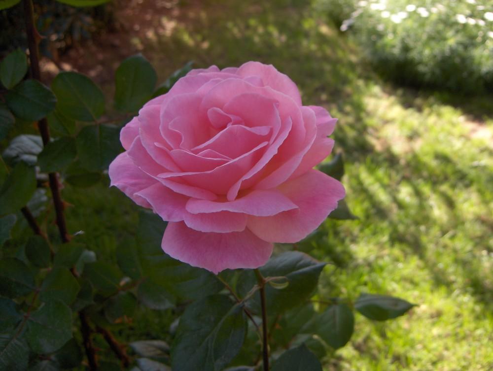 Rose -in voller Blüte