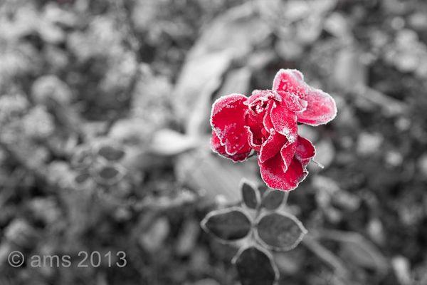 Rose in winter