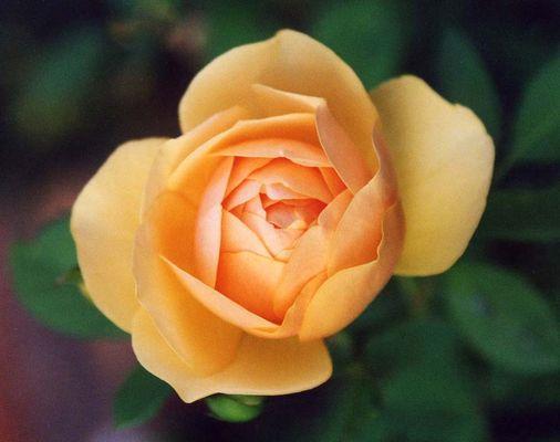 Rose in zarten Farben ....
