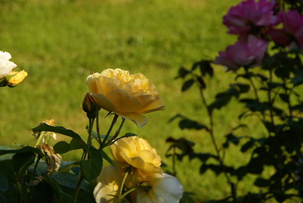 Rose jaune contre rose rose