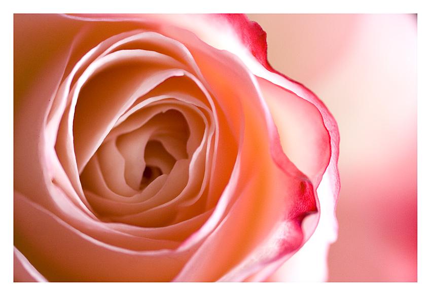 - Rose Joghurt-Kirsch -
