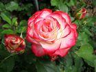 Rose: *Jubilee de Prince de Monaco*