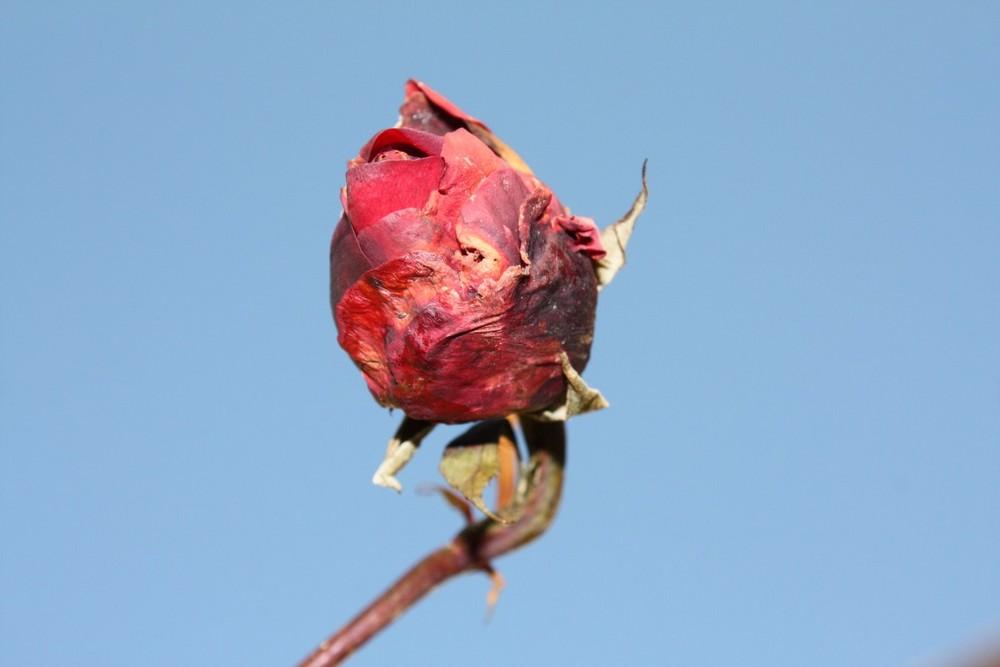 - Rose - längst vergessener Sommertage !