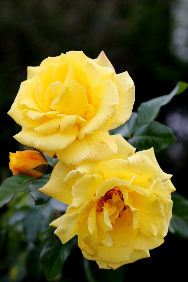 Rose Lucia - Die letzten Blüten im Herbst