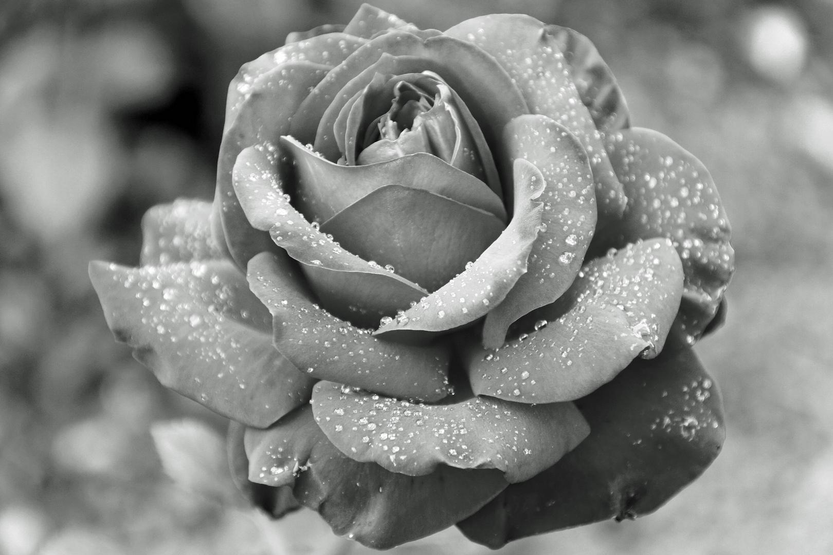 Rose mal anders