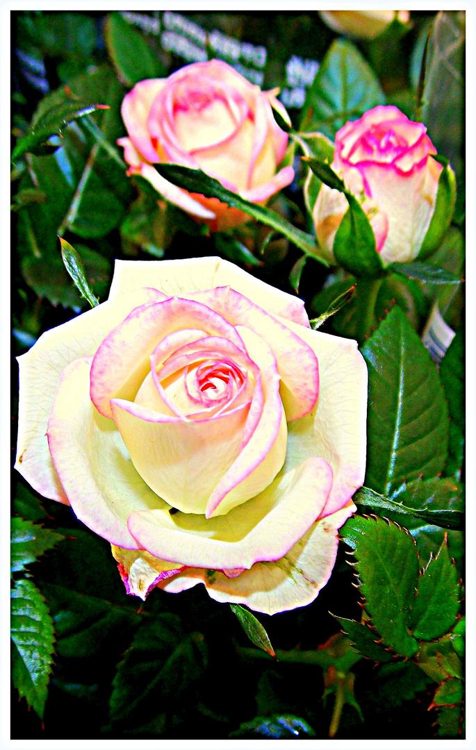~Rose mal anders...