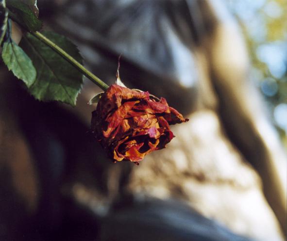 … rose … melaten