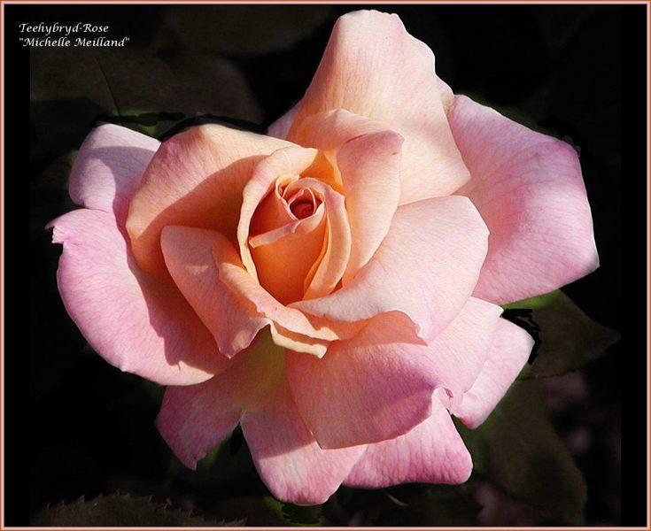 Rose 'Michelle Meilland' 1