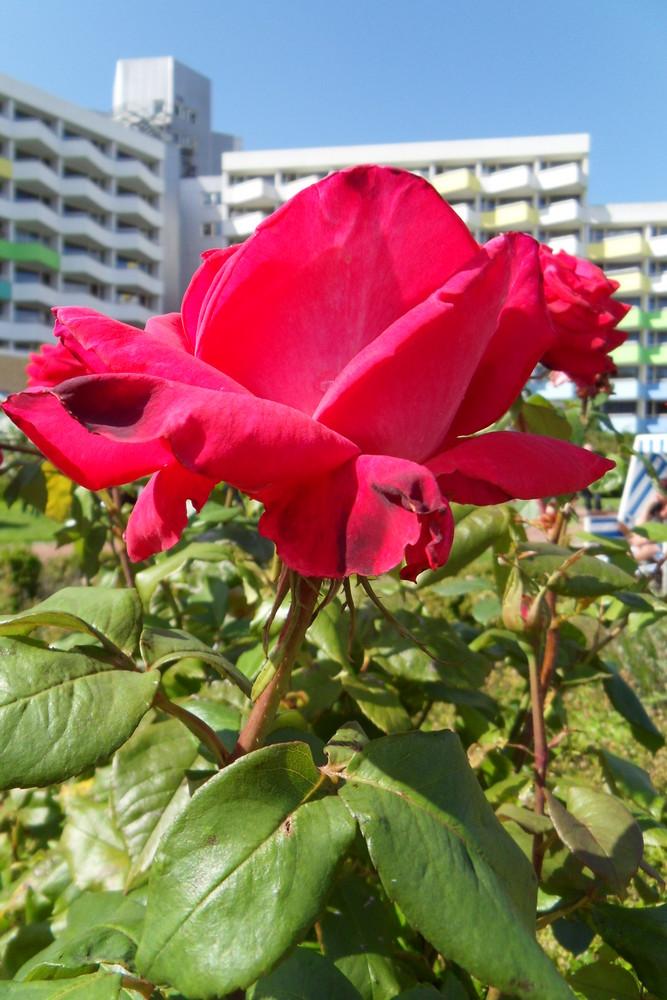 Rose mit Architektur