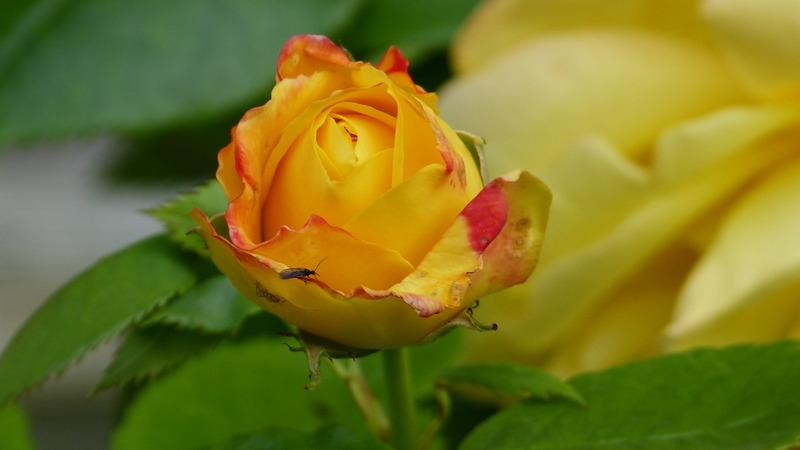 Rose mit Besuch