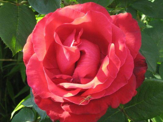 Rose mit Besucher