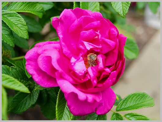 Rose mit Bewohner