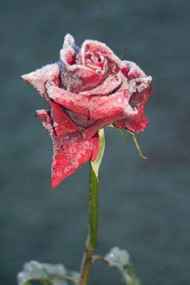 Rose mit einem Kleid aus Raureif