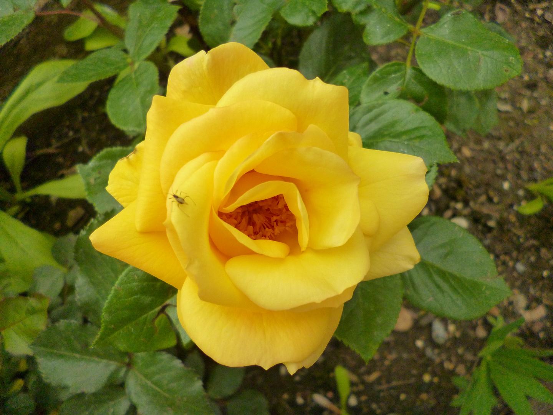 Rose mit erstem Gast