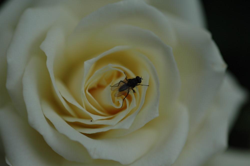 Rose mit Fliege