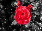Rose mit Frühtau