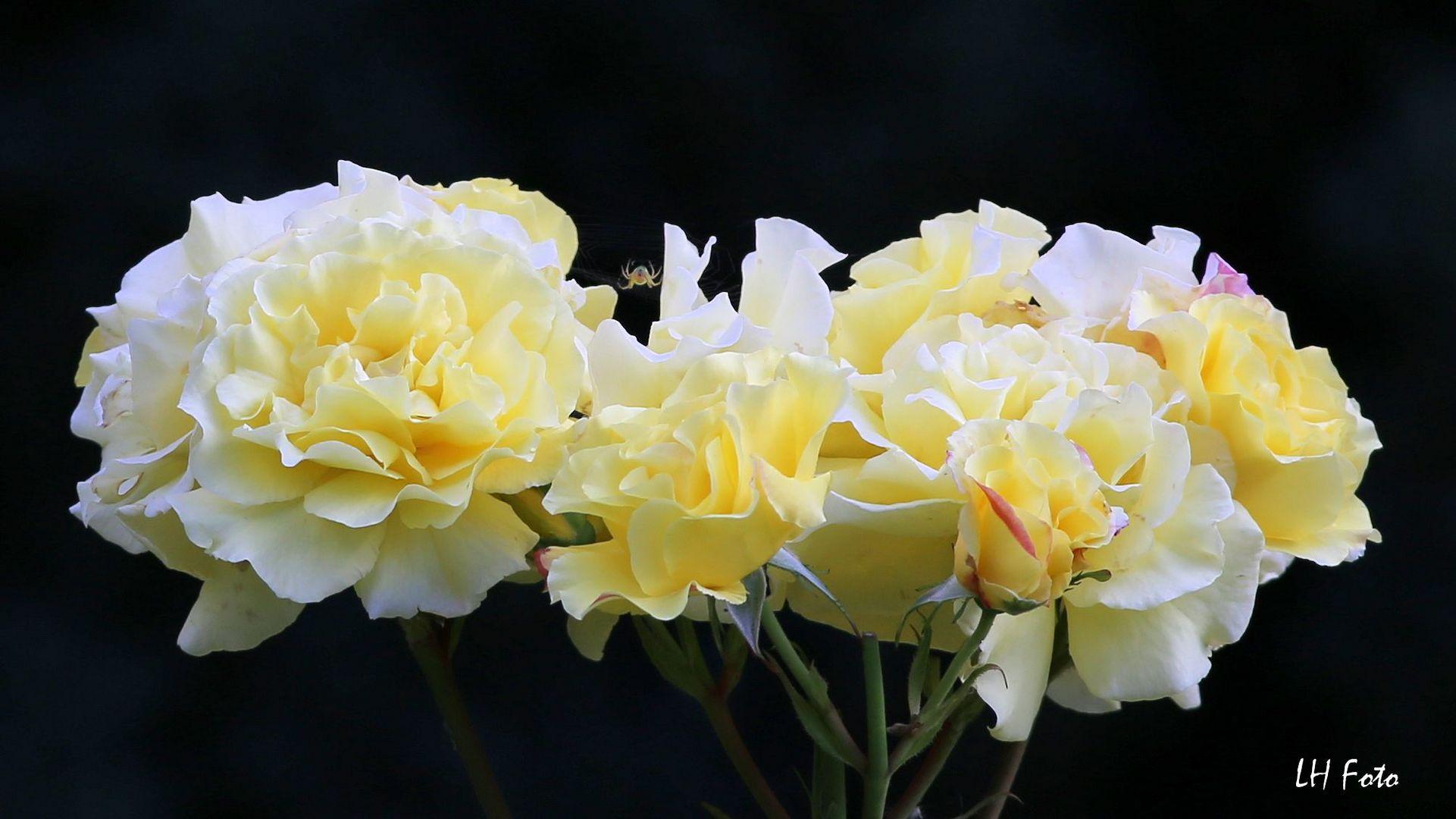 Rose mit Füllung....