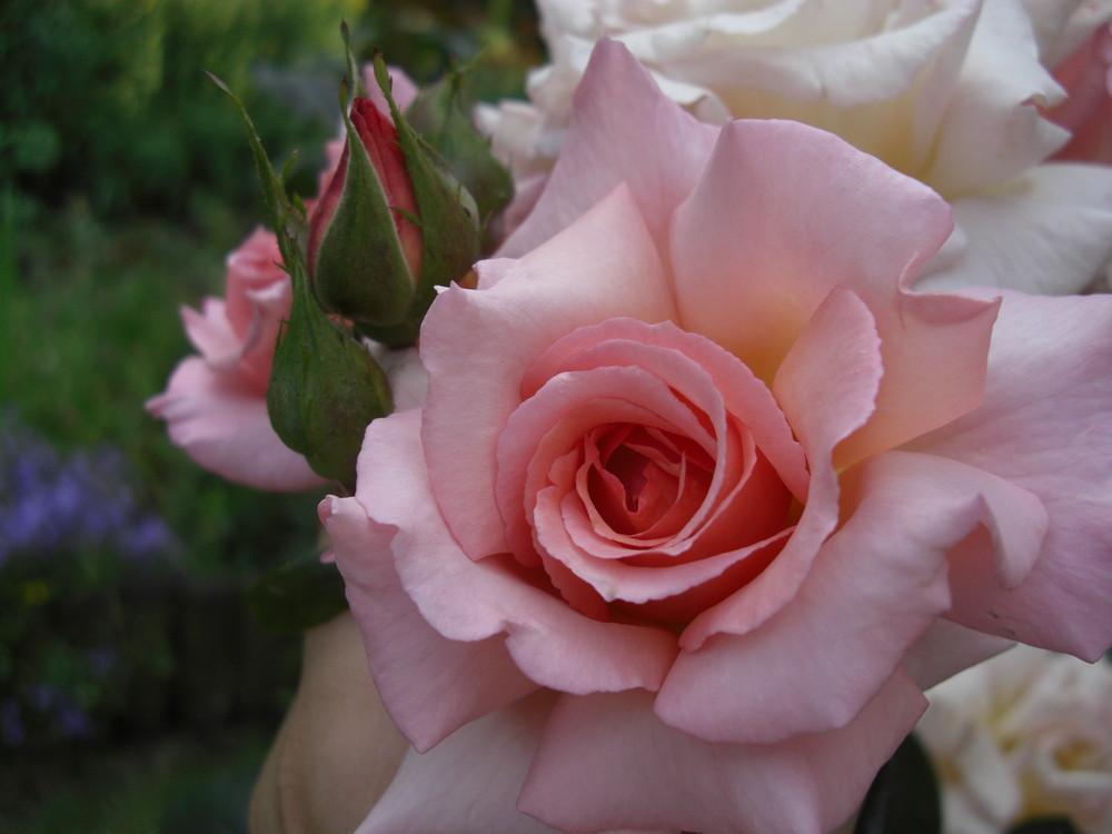 Rose mit Kospe