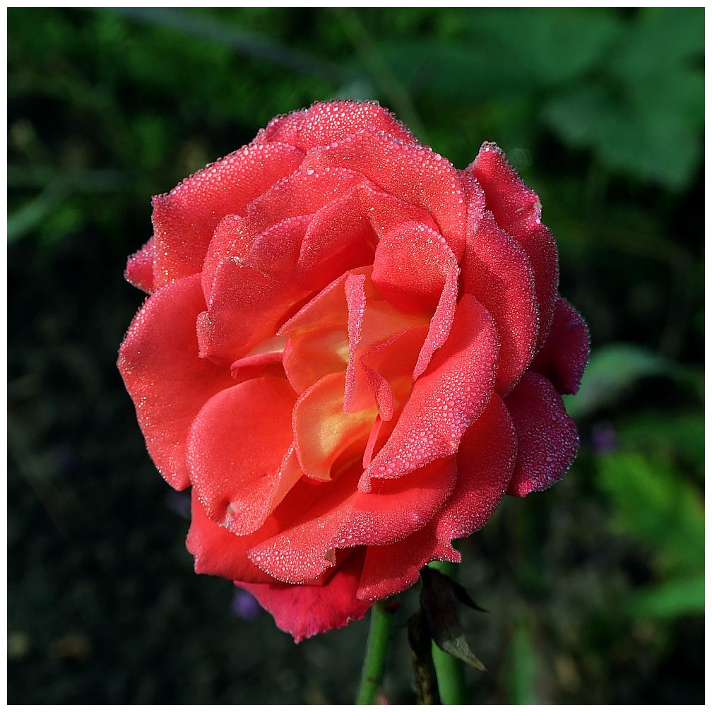 Rose mit Morgentau