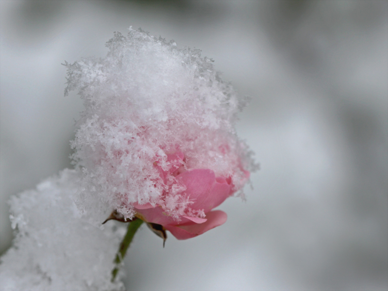 Rose mit Mütze.....