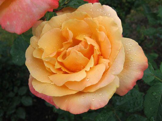 Rose mit Perleffekt