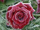 Rose mit Rauhreif 1