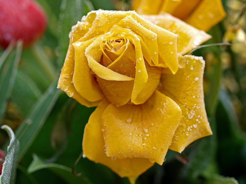 Rose mit Rauhreif 4