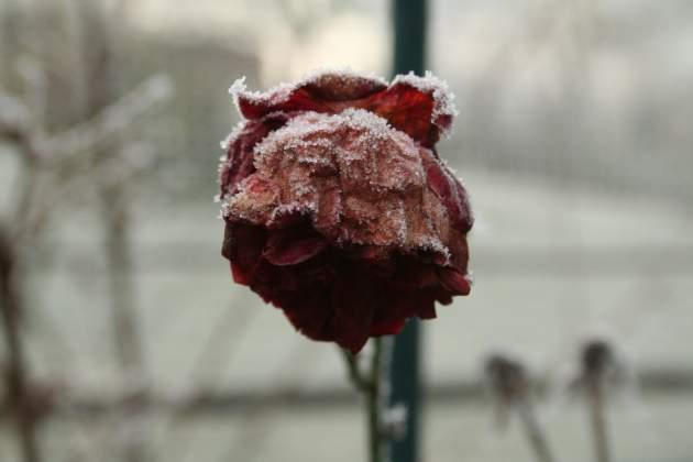 Rose mit Rauhreif
