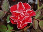rose mit reif