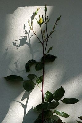 Rose mit Schatten