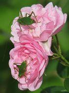 Rose mit Schrecken