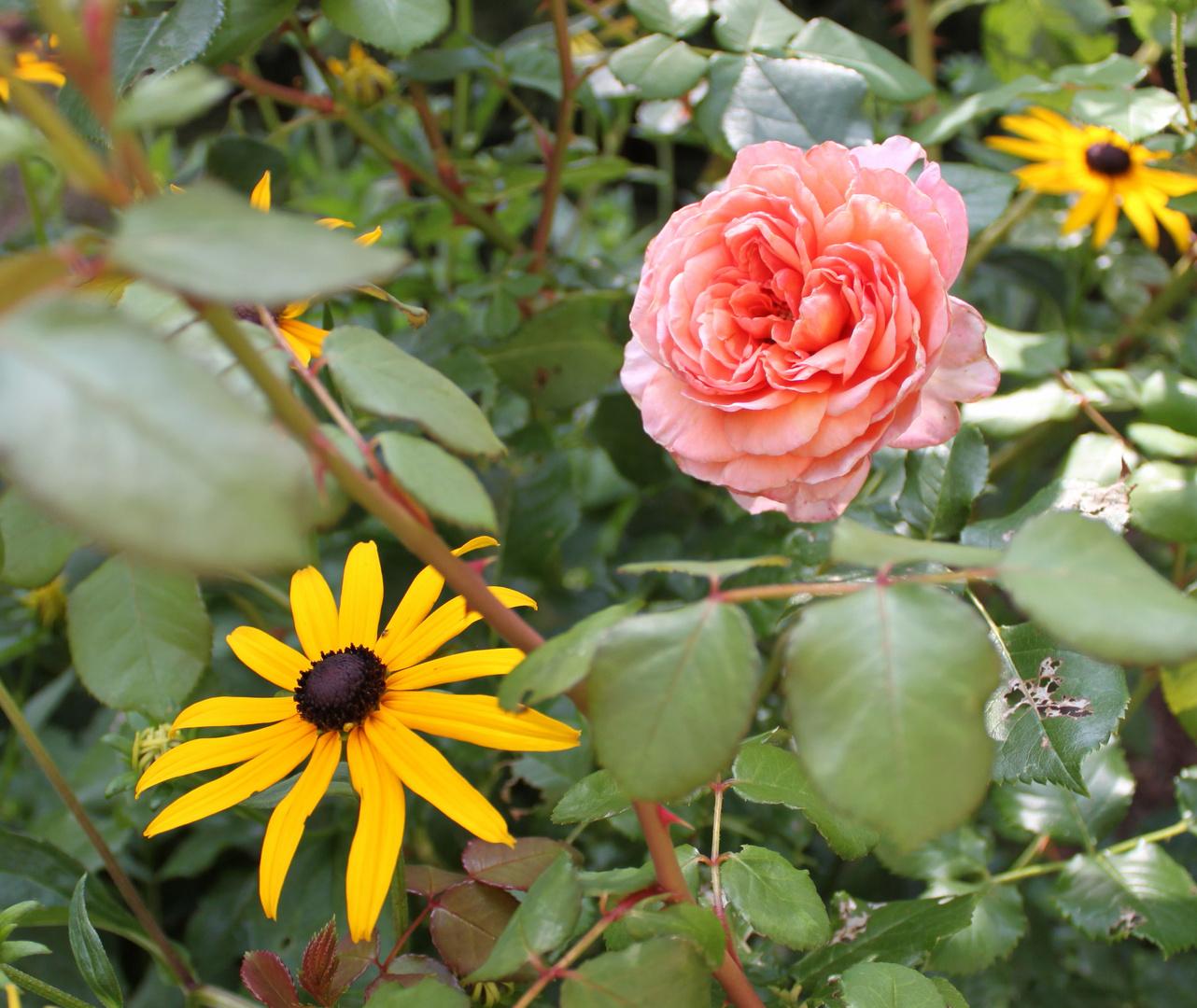 Rose mit Sonennhut