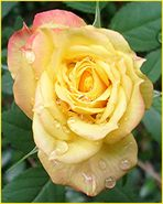 Rose mit Tränen