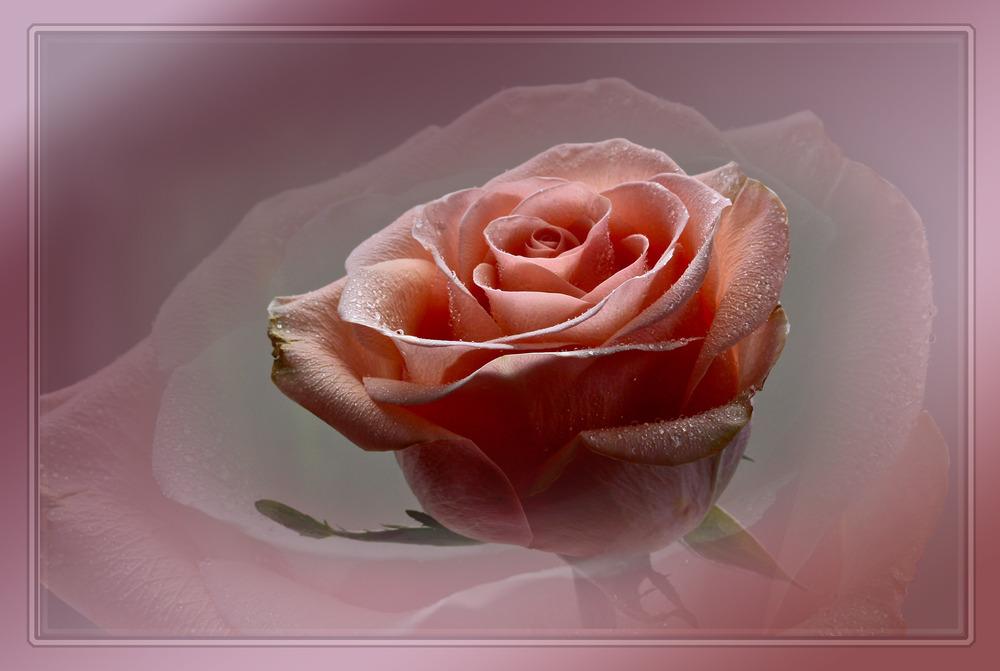 Rose mit Wasserperlen