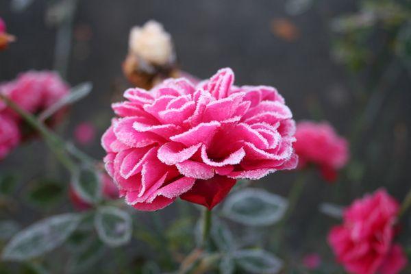 Rose mit Zuckerrand