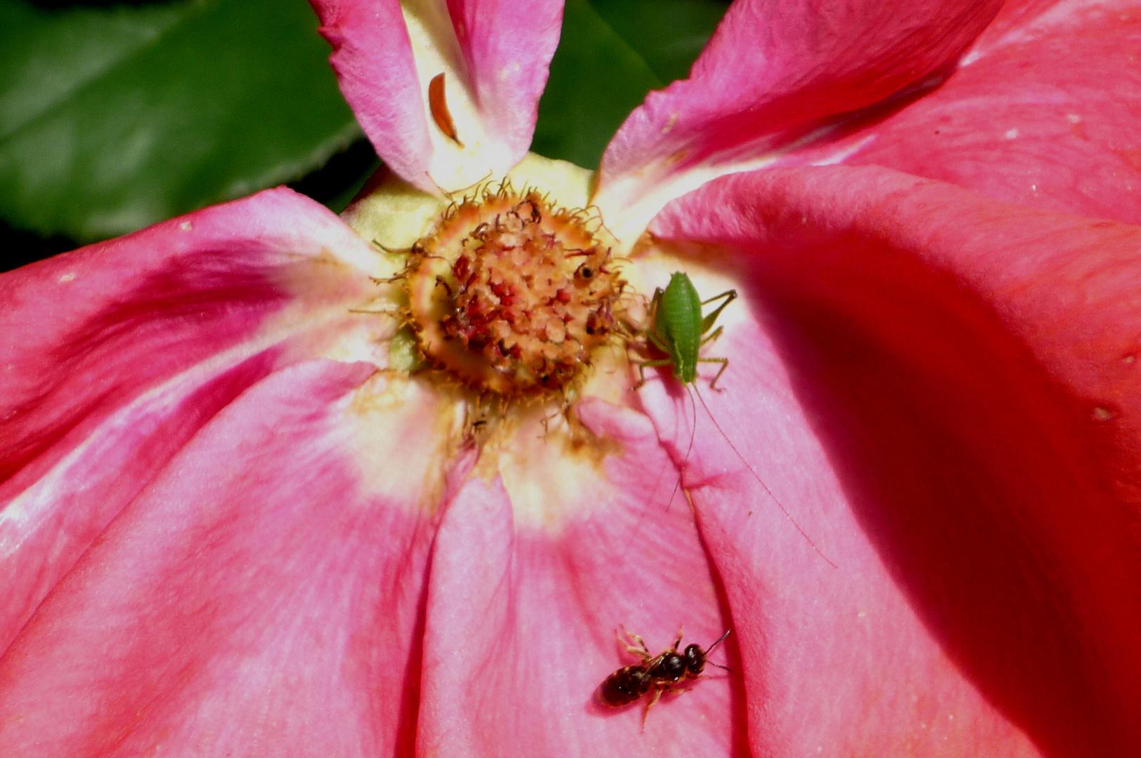 Rose mit zwei Besuchern