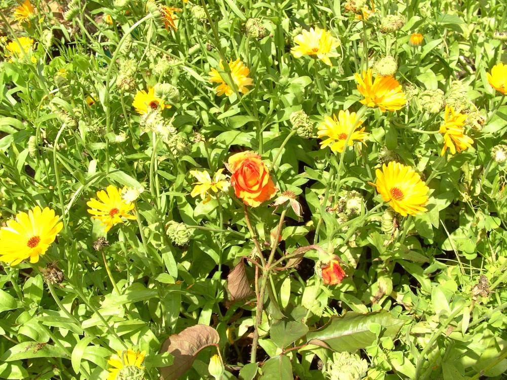Rose mittendrin