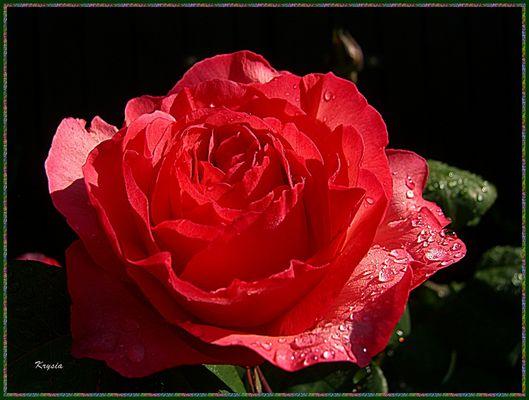Rose mouillée