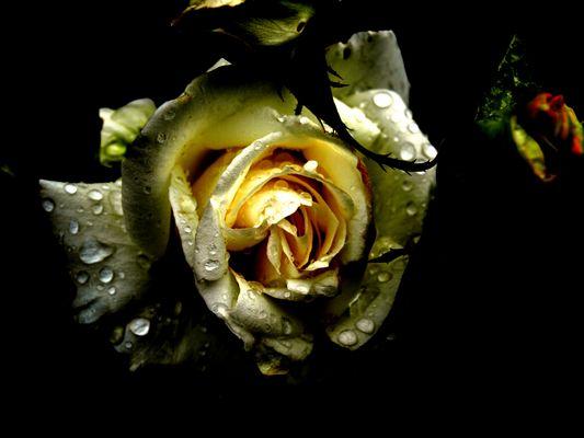 Rose mystère .