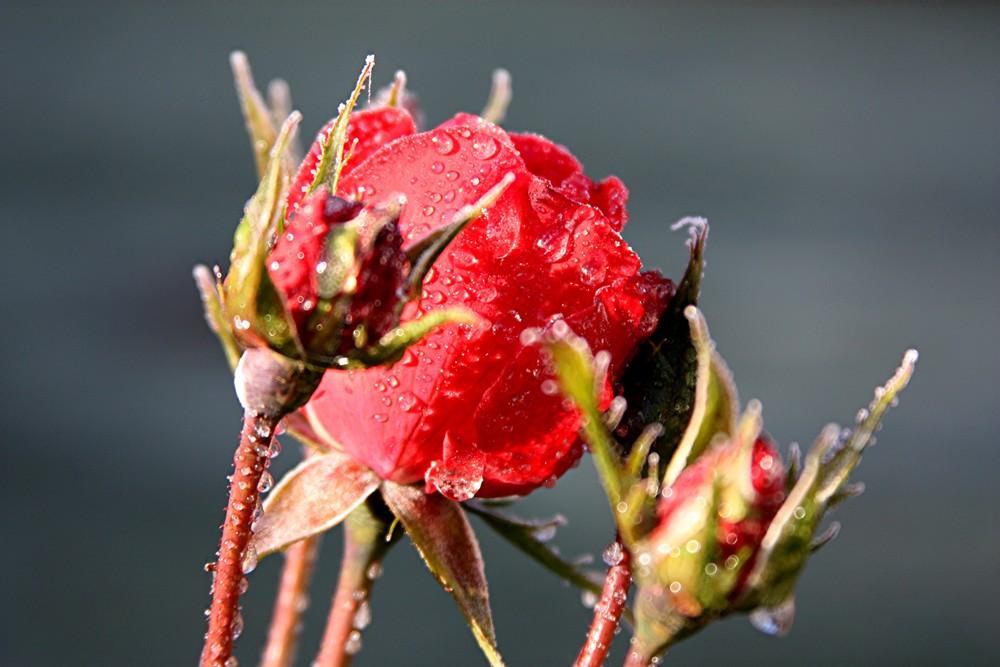 Rose - nach dem ersten Nachtfrost